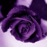 Purple_20rose